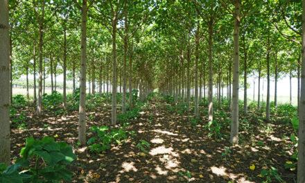 Paulownia – Ökologie trifft Rendite